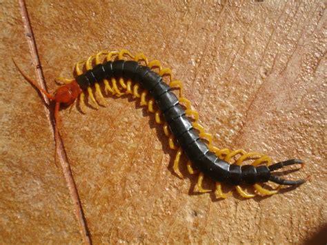 Texas redheaded centipede youtube jpg 900x675